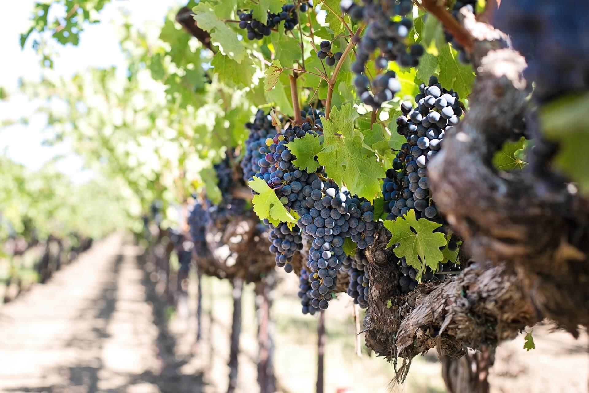Le vin biologique,  protection de la vigne.